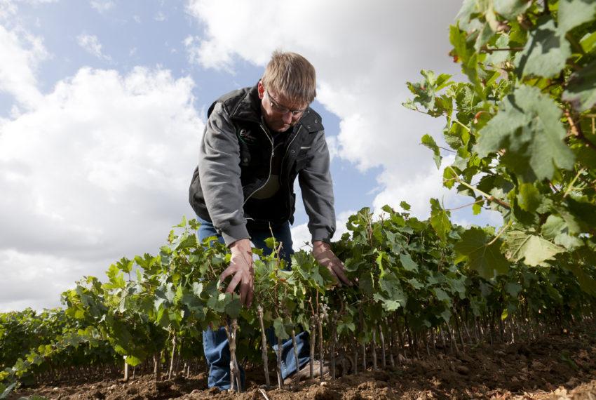 6) Pépiniériste Mercier, Vignes